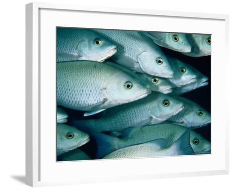 School of Grey Snapper (Lutjanus Griseus), Soufriere Bay, Scott's Head, Dominica-Michael Lawrence-Framed Art Print