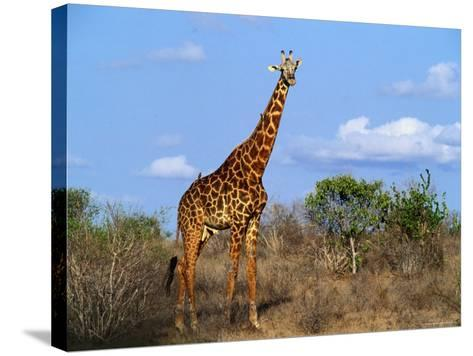 Giraffe Tsavo West National Park, Kenya-John Hay-Stretched Canvas Print