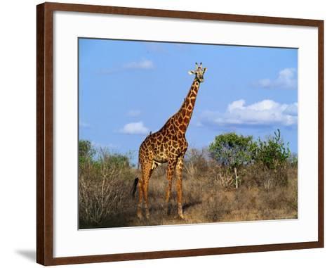 Giraffe Tsavo West National Park, Kenya-John Hay-Framed Art Print