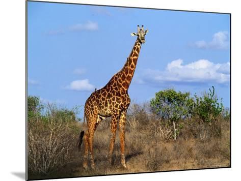 Giraffe Tsavo West National Park, Kenya-John Hay-Mounted Photographic Print