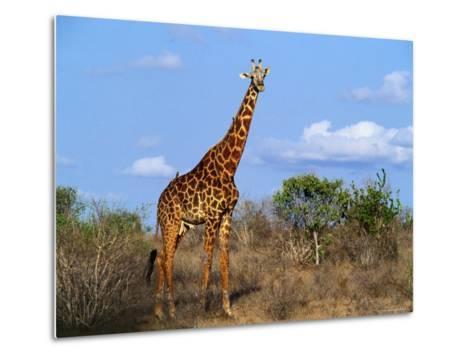 Giraffe Tsavo West National Park, Kenya-John Hay-Metal Print