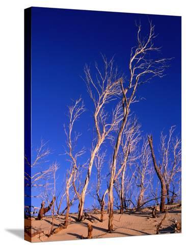 Dead Trees in Sand Dunes at Sunrise, Croajingolong National Park, Victoria, Australia-Grant Dixon-Stretched Canvas Print