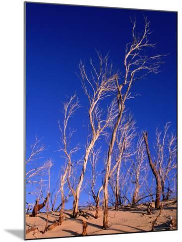 Dead Trees in Sand Dunes at Sunrise, Croajingolong National Park, Victoria, Australia-Grant Dixon-Mounted Photographic Print