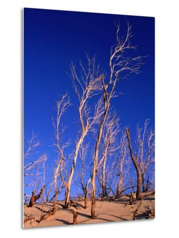 Dead Trees in Sand Dunes at Sunrise, Croajingolong National Park, Victoria, Australia-Grant Dixon-Metal Print