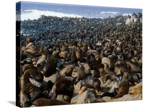 Seals in Cape Cross Seal Reserve, Skeleton Coast National Park, Namibia-David Wall-Stretched Canvas Print