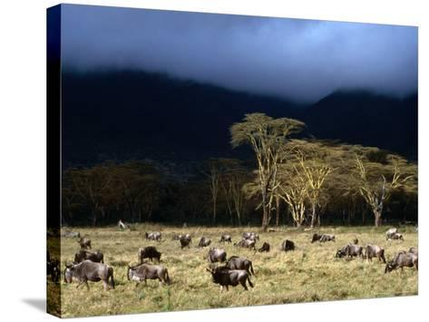 Low Cloud Hangs Over Zebra and Wildebeest at Ngorongoro Crater, Arusha, Tanzania-Ariadne Van Zandbergen-Stretched Canvas Print