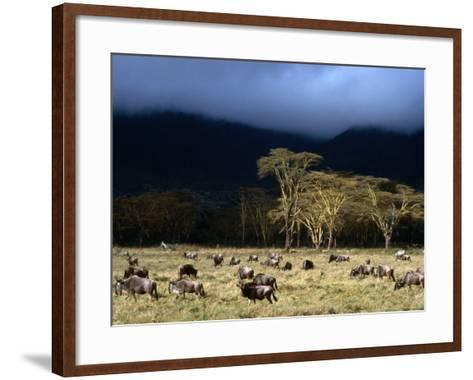 Low Cloud Hangs Over Zebra and Wildebeest at Ngorongoro Crater, Arusha, Tanzania-Ariadne Van Zandbergen-Framed Art Print