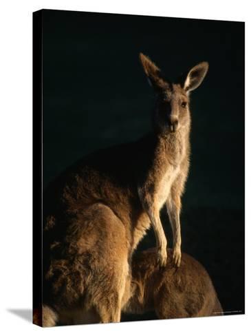 Kangaroo at Night, Anglesea, Australia-John Banagan-Stretched Canvas Print