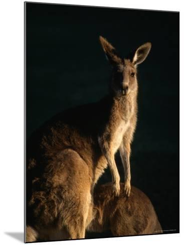 Kangaroo at Night, Anglesea, Australia-John Banagan-Mounted Photographic Print