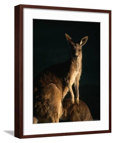 Kangaroo at Night, Anglesea, Australia-John Banagan-Framed Art Print