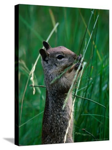 California Ground Squirrel (Spermophilus Beecheyi) in Grasslands, Yosemite National Park, CA, USA-David Tomlinson-Stretched Canvas Print