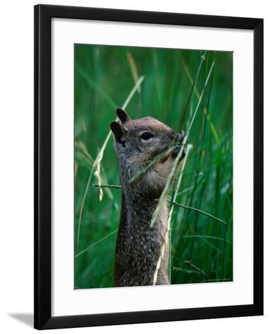 California Ground Squirrel (Spermophilus Beecheyi) in Grasslands, Yosemite National Park, CA, USA-David Tomlinson-Framed Art Print