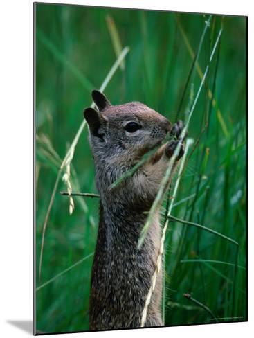 California Ground Squirrel (Spermophilus Beecheyi) in Grasslands, Yosemite National Park, CA, USA-David Tomlinson-Mounted Photographic Print