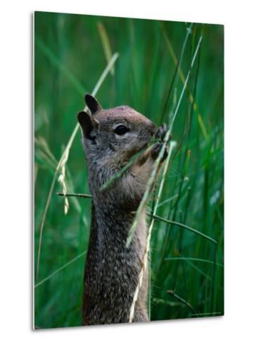 California Ground Squirrel (Spermophilus Beecheyi) in Grasslands, Yosemite National Park, CA, USA-David Tomlinson-Metal Print