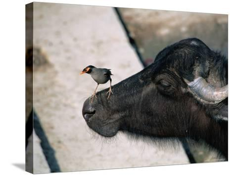 Buffalo with Common Myna (Acridotheres Tristis), Varanasi, India-Anders Blomqvist-Stretched Canvas Print