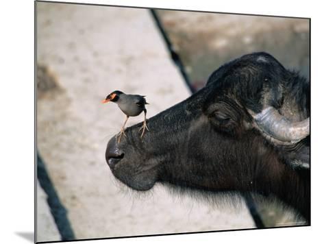Buffalo with Common Myna (Acridotheres Tristis), Varanasi, India-Anders Blomqvist-Mounted Photographic Print