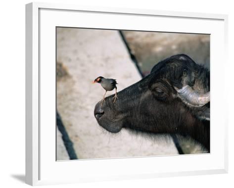 Buffalo with Common Myna (Acridotheres Tristis), Varanasi, India-Anders Blomqvist-Framed Art Print