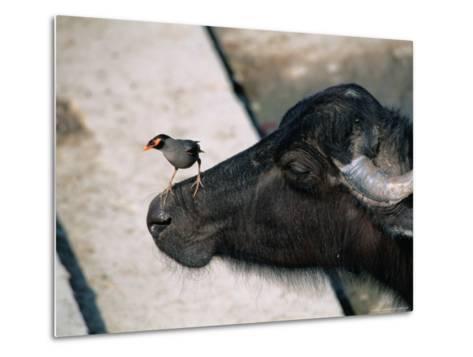 Buffalo with Common Myna (Acridotheres Tristis), Varanasi, India-Anders Blomqvist-Metal Print