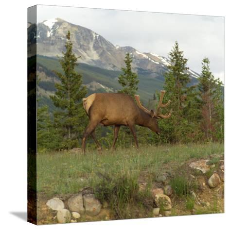 Elk Grazing on Grass, Jasper National Park, Canada-Keith Levit-Stretched Canvas Print