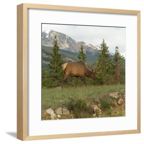 Elk Grazing on Grass, Jasper National Park, Canada-Keith Levit-Framed Art Print