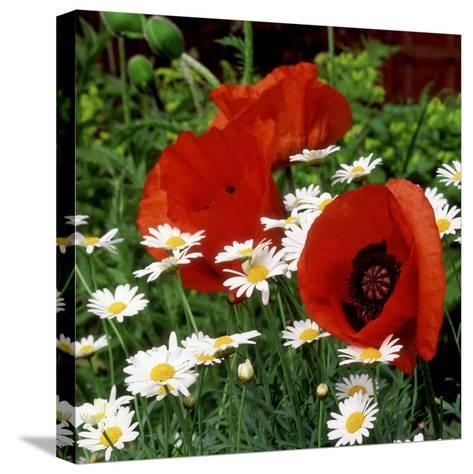 """Oriental Poppy """"Marcus Perry"""" and Marguerite-James Guilliam-Stretched Canvas Print"""