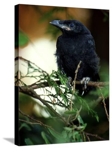 American Crow, British Columbia-Olaf Broders-Stretched Canvas Print