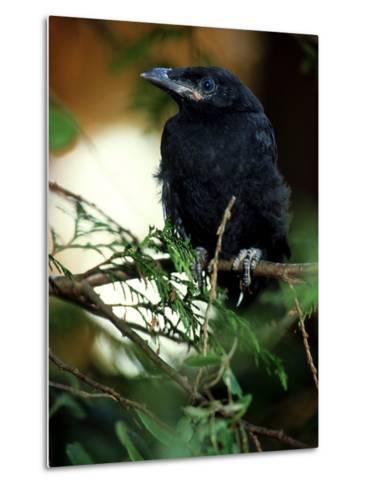 American Crow, British Columbia-Olaf Broders-Metal Print