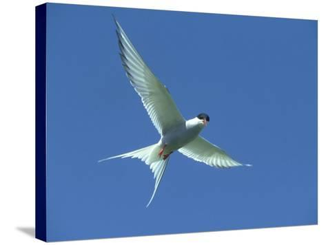 Arctic Tern, Sterna Paradisaea in Flight Against Blue Sky Farnes, UK-Mark Hamblin-Stretched Canvas Print