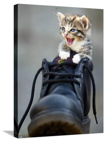 A Kitten in a Boot--Stretched Canvas Print