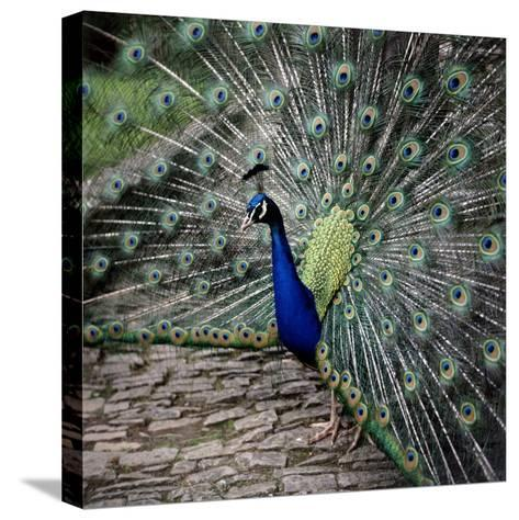 A Peacock at Tapely Park in Devon, May 1981--Stretched Canvas Print