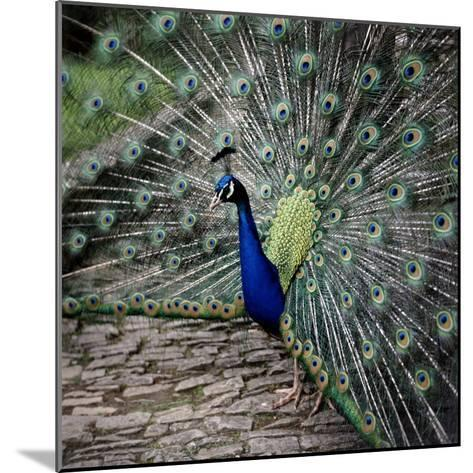 A Peacock at Tapely Park in Devon, May 1981--Mounted Photographic Print