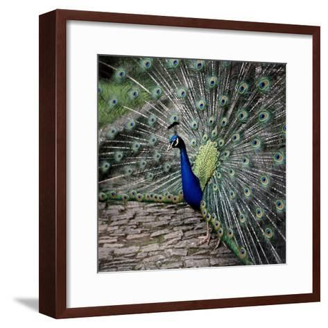 A Peacock at Tapely Park in Devon, May 1981--Framed Art Print