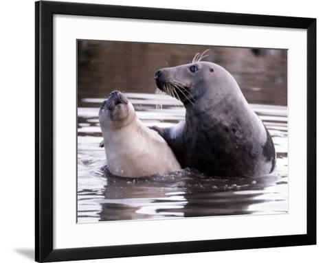 Seals on the Farne Island off the Northumberland Coast in Northern England, November 1972--Framed Art Print