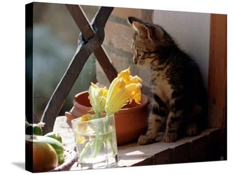 A Kitten Watching Through a Window, August 1997--Stretched Canvas Print