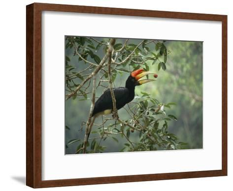 Young Rhinoceros Hornbill Feeds on a Fig from a Strangler Fig Tree in Borneo, Indonesia-Tim Laman-Framed Art Print