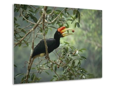 Young Rhinoceros Hornbill Feeds on a Fig from a Strangler Fig Tree in Borneo, Indonesia-Tim Laman-Metal Print