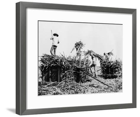 Sugar Cane Harvesting in Hawaii Photograph - Hawaii-Lantern Press-Framed Art Print