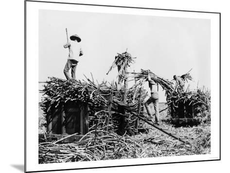 Sugar Cane Harvesting in Hawaii Photograph - Hawaii-Lantern Press-Mounted Art Print