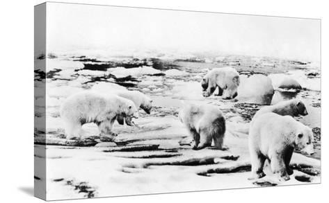Alaska View of 6 huge Polar Bears Hunting Photograph-Lantern Press-Stretched Canvas Print