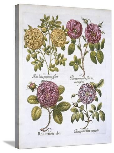 Roses, Plate 95 from Hortus Eystettensis by Basil Besler--Stretched Canvas Print