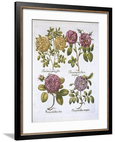 Roses, Plate 95 from Hortus Eystettensis by Basil Besler--Framed Art Print