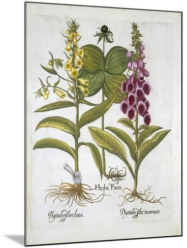 Herb Paris--Mounted Giclee Print
