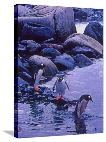 Gentoo Penguin, Antarctica-Joe Restuccia III-Stretched Canvas Print