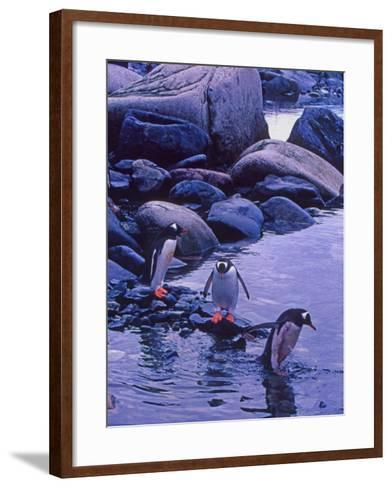 Gentoo Penguin, Antarctica-Joe Restuccia III-Framed Art Print