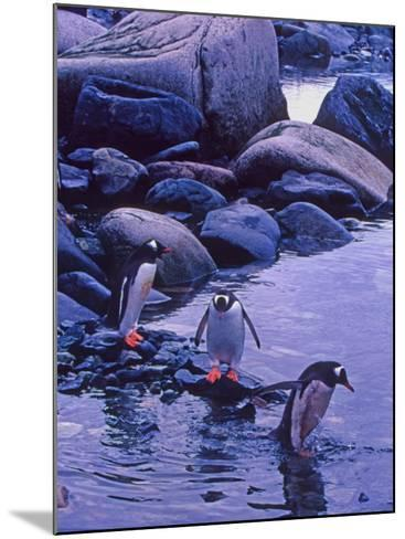Gentoo Penguin, Antarctica-Joe Restuccia III-Mounted Photographic Print
