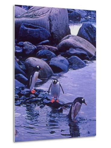 Gentoo Penguin, Antarctica-Joe Restuccia III-Metal Print