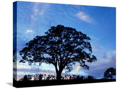 Oak Trees at Sunset on Twin Oaks Farm, Connecticut, USA-Jerry & Marcy Monkman-Stretched Canvas Print