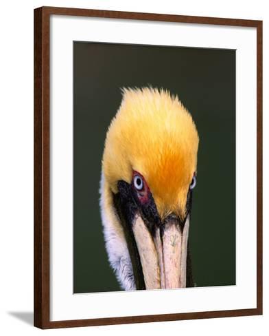 Male Brown Pelican in Breeding Plumage, Sanibel Island, Florida, USA-Charles Sleicher-Framed Art Print