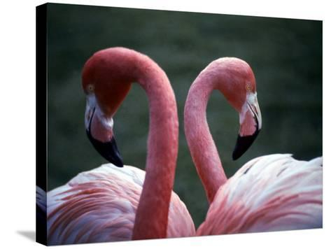 Flamingoes at Western Underwood Zoo, December 1979--Stretched Canvas Print