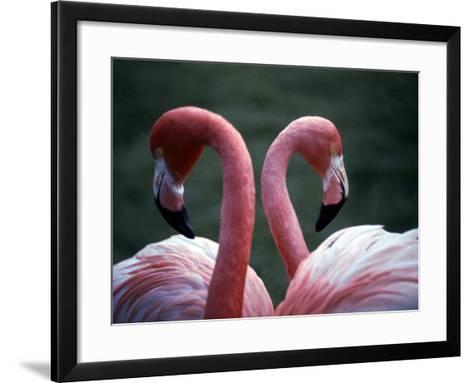 Flamingoes at Western Underwood Zoo, December 1979--Framed Art Print
